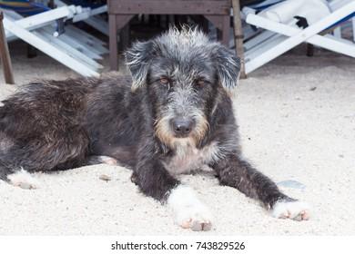 Schnauzer : Dog on the beach