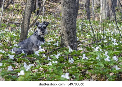Schnauzer in forest with white wild flowers