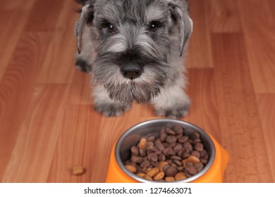 Schnauzer puppy dog eating tasty dry food from bowl. Dog's feed.