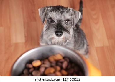 Schnauzer puppy dog eating tasty dry food from bowl. Dog's feed. The owner gives his dog a bowl of granules.