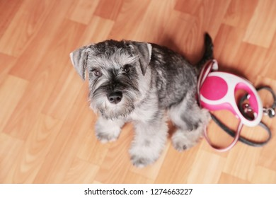 Schnauzer puppy dog with retractable leash waiting to go walk