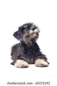 schnauzer puppy looking curious