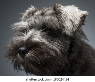 Schnauzer Puppy portrait in stdio, dark background