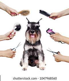 Schnauzer puppy surrounded by hands holding groomer tools isolated on white
