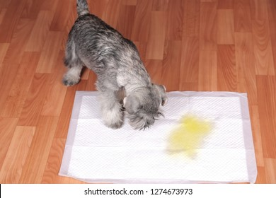 Schnauzer puppy and urine puddle in dog diaper. Concept home training dogs.