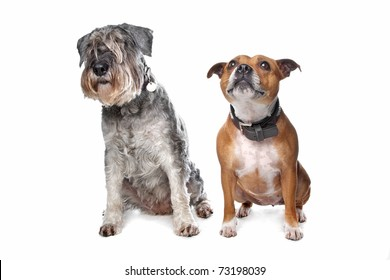 Schnauzer and a Stafford  in front of a white background in studio