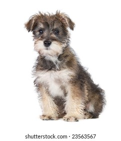 A Schnauzer Yorkie mix puppy on a white background.