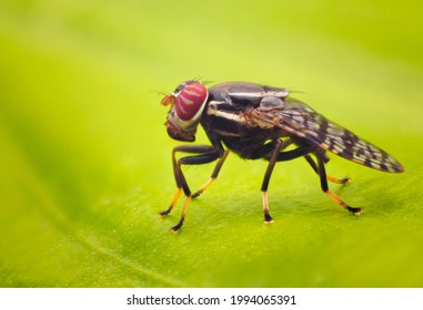 Scholastes sp. Signal Fly family of Platystomatidae.