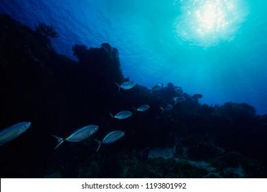 School of bar jacks underwater in the Caribbean