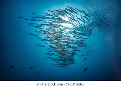school of barracuda fish with sunset