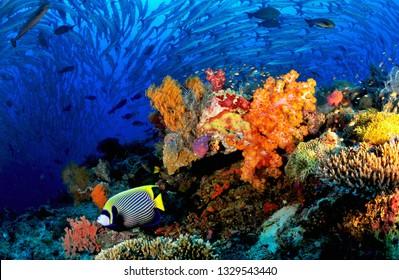 school of barracuda and soft coral  in Sipadan