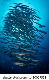 School of Barracuda swim above coral reef