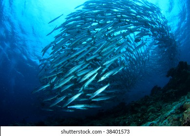 School of Barracuda swimming in the blue.