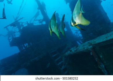 School of bat fish near a sunken ship in the Maldives