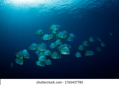 School of Batfish in the Blue, against Surface. Pulau Koon, Banda Islands, Indonesia