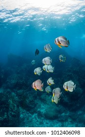 School of Batfish on a tropical coral reef