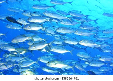 A School of Bigeye Kingfish (Palau, Micronesia)