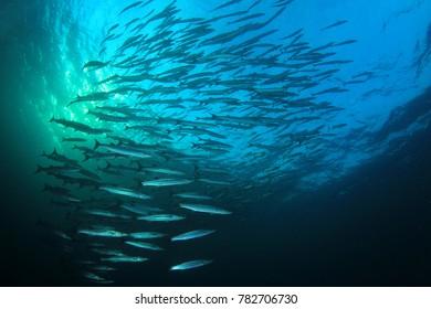 School of Blackfin Barracuda fish underwater
