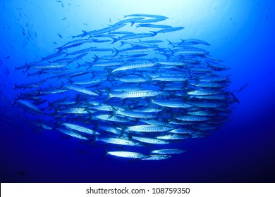 School of Blackfin Barracuda in open ocean