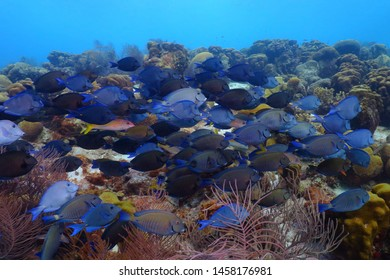 School of blue fish (surgeonfish or tang) on the tropical reef. Blue ocean and marine life. Water, fish (Acanthuridae) and corals. Underwater photography from scuba diving on the healthy coral reef.
