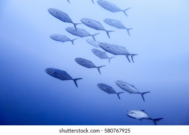 School of blue runner jack fish (Caranx crysos) in the Atlantic Ocean off Wilmington, North Carolina.