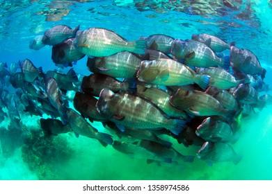 school of bumphead parrot fish in sipadan