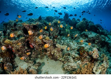 School of Butterflyfish and other tropical fish on a coral reef
