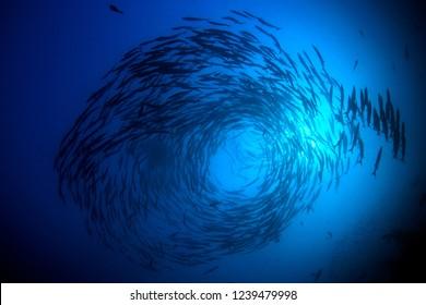 School of Chevron Barracuda fish in Thailand