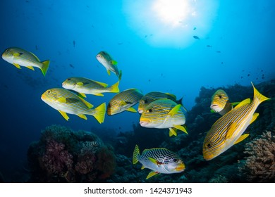 A school of colorful Ribbon sweetlips, Plectorhinchus polytaenia, and a Lined sweetlips, P. lineatus, swim over a coral reef in Indonesia.