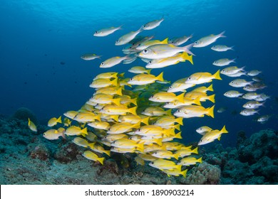 A school of colorful snapper hovers over a deep coral reef in the Republic of Palau. This tropical island nation is known for its extraordinary marine life and beautiful rock islands.