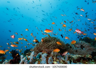 School of Coral Cod (Cephalopholis miniata) and clown fish swim on coral reef