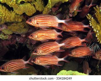 School of crowned squirrelfish under foliose coral