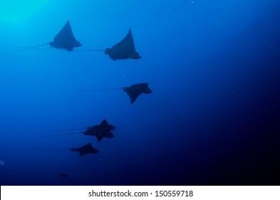 school of eagle rays caribbean sea.