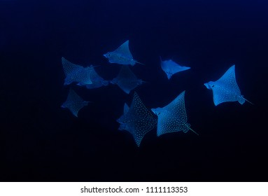 School of eagle-rays, East Kalimantan, Ibndonesia