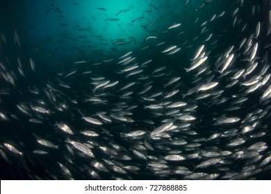 School of European sea bass ( Dicentrarchus labrax) Mediterranean sea.
