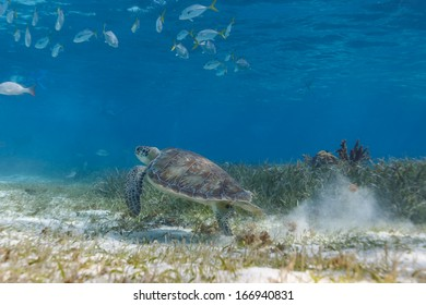 School of fish and green sea turtle, Chelonia mydas, swimming on the coral reef in  Hol Chan Marine Park