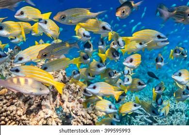 School of fish inThe Indian Ocean, Maldives