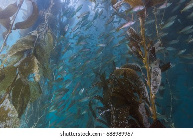 School of fish in Kelp forest, California