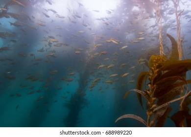 School of fish in Kelp with sun above
