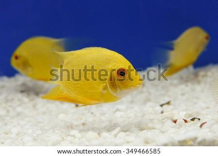 School Fish Many Yellow Damselfish Swimming Stock Photo Edit Now