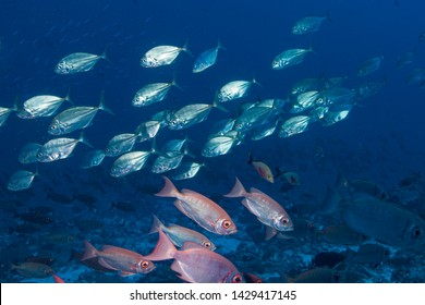 School of fish of Rangiroa atoll, French Polynesia.