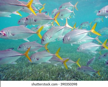 School of fish in shallow water off the coast of Ambergris Key, Belize