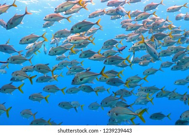 School of fish swimming in the blue ocean. Snorkeling with fish in shallow sea. Underwater photography with fish (trevally - pilot fish) in the current.