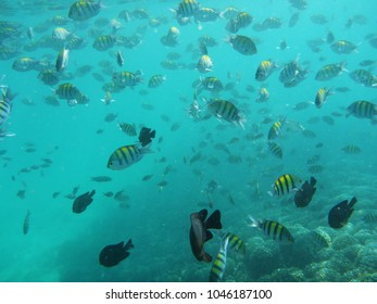 school of fish swimming in the clear turquoise waters of the coast of Muscat, Oman