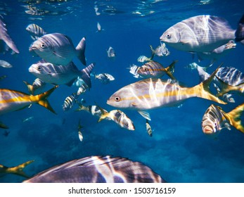 School of fish with yellow tipped fins swimming underwater in the tropical Gulf of Mexico water off the island of Cuba