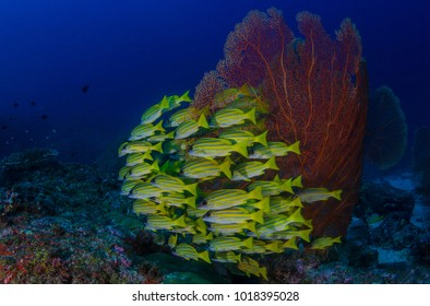 School of Five-Linned Snappers with Gorgonian Fan at Koh Bon Similan Islands Thailand