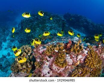 School of Fourspot butterflyfish in a coral reef (Rangiroa, Tuamotu Islands, French Polynesia in 2012)
