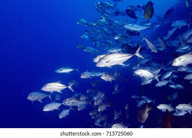 School of Giant trevelly caranx fish on the deeep blue ocean background