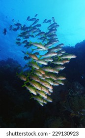 School Of Goatfishes Over The Coral Reef