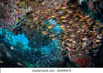 A school of Golden sweepers hover in a shadowed cavern on a coral reef in Indonesia. This region is part of the Coral Triangle and harbors a spectacular amount of marine biodiversity.